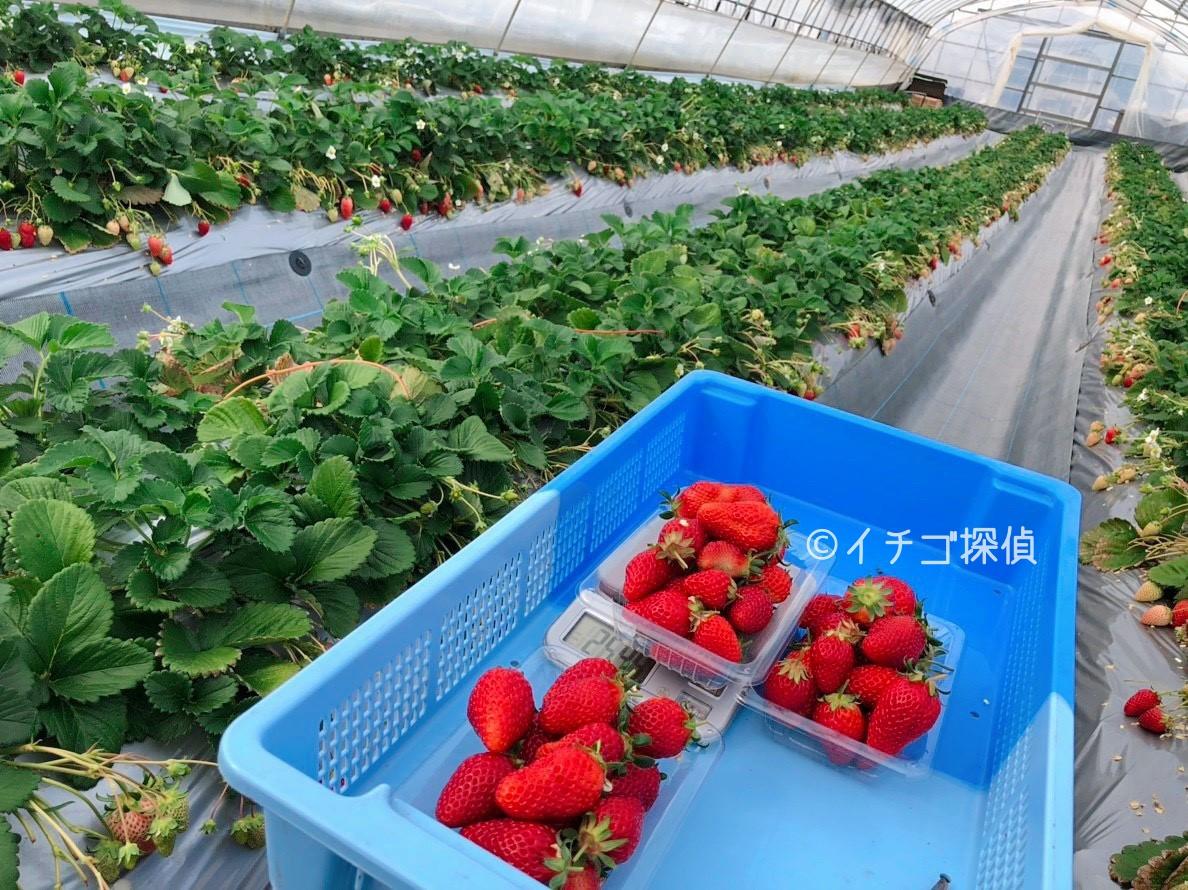 茨城 いちご 狩り 茨城の果物狩り・野菜狩り一覧【いばナビ】